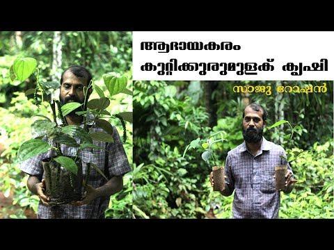 കുറ്റിക്കുരുമുളക് കൃഷി ആദായകരം / Bush Pepper Farming- Saju Roshan / GREEN 360