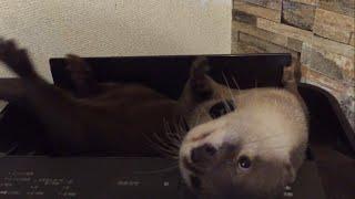 カワウソさくら  空気清浄機の上で遊ぶ!まるでラッコのよう Otters such as sea otters