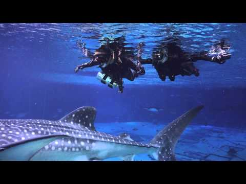 Swimming with Whale Sharks at the GA Aquarium
