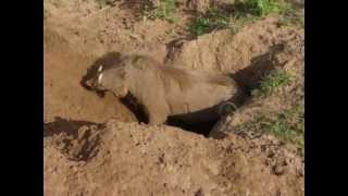 Video Warthog Digging a Burrow download MP3, 3GP, MP4, WEBM, AVI, FLV Juni 2018