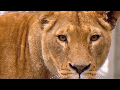 Animal Park - Sedating Lions & Marmoset Baby | Safari Park Documentary | Natural History Channel