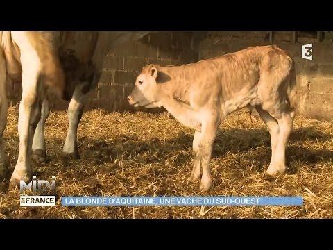 Animaux Nature La Blonde D Aquitaine Une Vache Du Sud