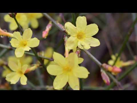 winter jasmine plant profile youtube. Black Bedroom Furniture Sets. Home Design Ideas