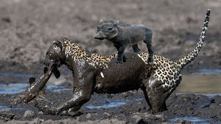 Amazing with Leopard's abilities, Catches catfish in muddy ,chase mother but take care baby Warthog