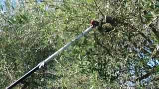 南イタリア、チレントでオリーブ摘み  olio di oliva raccolto 2017★