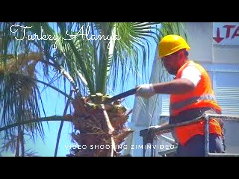 Вопрос: Как обрезать пальму?
