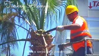 Уход за пальмами в Турции обрезка листьев каждый год Palm tree care in Turkey pruning leaves