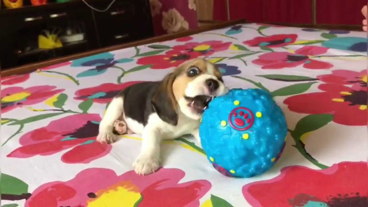 Leo the Beagle Playing With his Ball || My Naughty Beagle Puppy || Fun Gardening