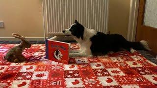 Rory the Border Collie  20 dog tricks 1 prop  Saving Bunny