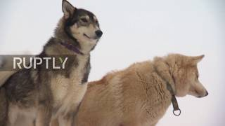 Russia: Homeless huskies find solace sledging with kids