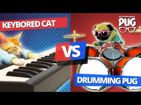 Drumming Pug VS Keybored Cat