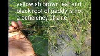 Zinc deficiency/brown leaf of paddy/sheath blight in paddy/root rot in rice crop