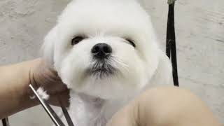 Maltese teddy bear face by Silkcreation pet grooming