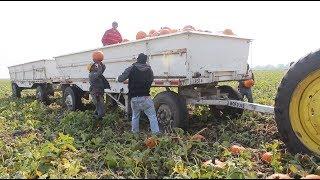 2017 pumpkin harvest