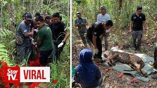 One roaming tiger captured