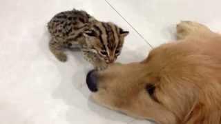 Golden Retriever (lion) Vs Leopard Cat