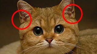 Для чего кошке нужны эти кармашки на ушках?