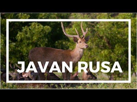 Javan rusa videos, photos and facts - Rusa timorensis
