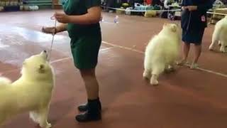 Монопородная выставка породы Самоедская собака 2018