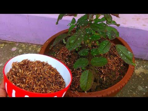 compost-for-rose-l-rice-husk-l-organic-fertilizer.
