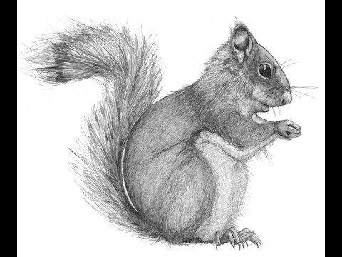 How to draw African Bush Squirrel drawing step by step YouTube