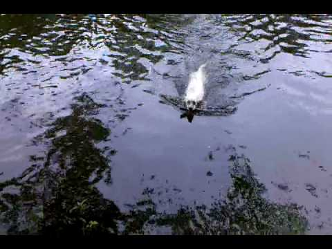 Syd retrieving on the Boquet River 2010-06