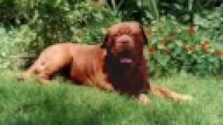 Dogo De Burdeos, Axcel Du Mont Rouge  Dogue De Bordeaux