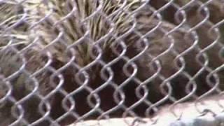 Nozawa Road Trip 2010 porcupine