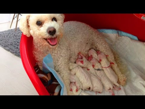 Family Bichon Frise happy to welcome new members- Dog giving birth video