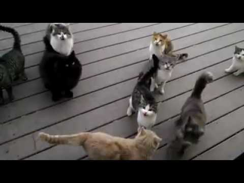 Mjau mace