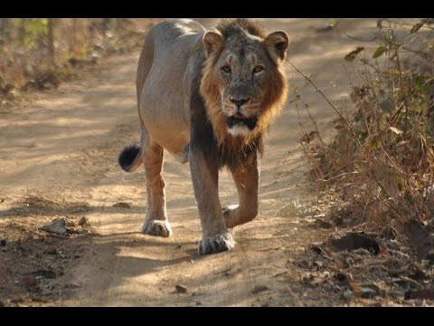 Saurashtra Ni Vanya Shrushti Gir Forest National Park Sasan - Part 1