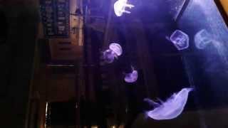 Publication Date: 2014-10-20 | Video Title: 中華聖潔會靈風中學 - 校園水母飼養計劃