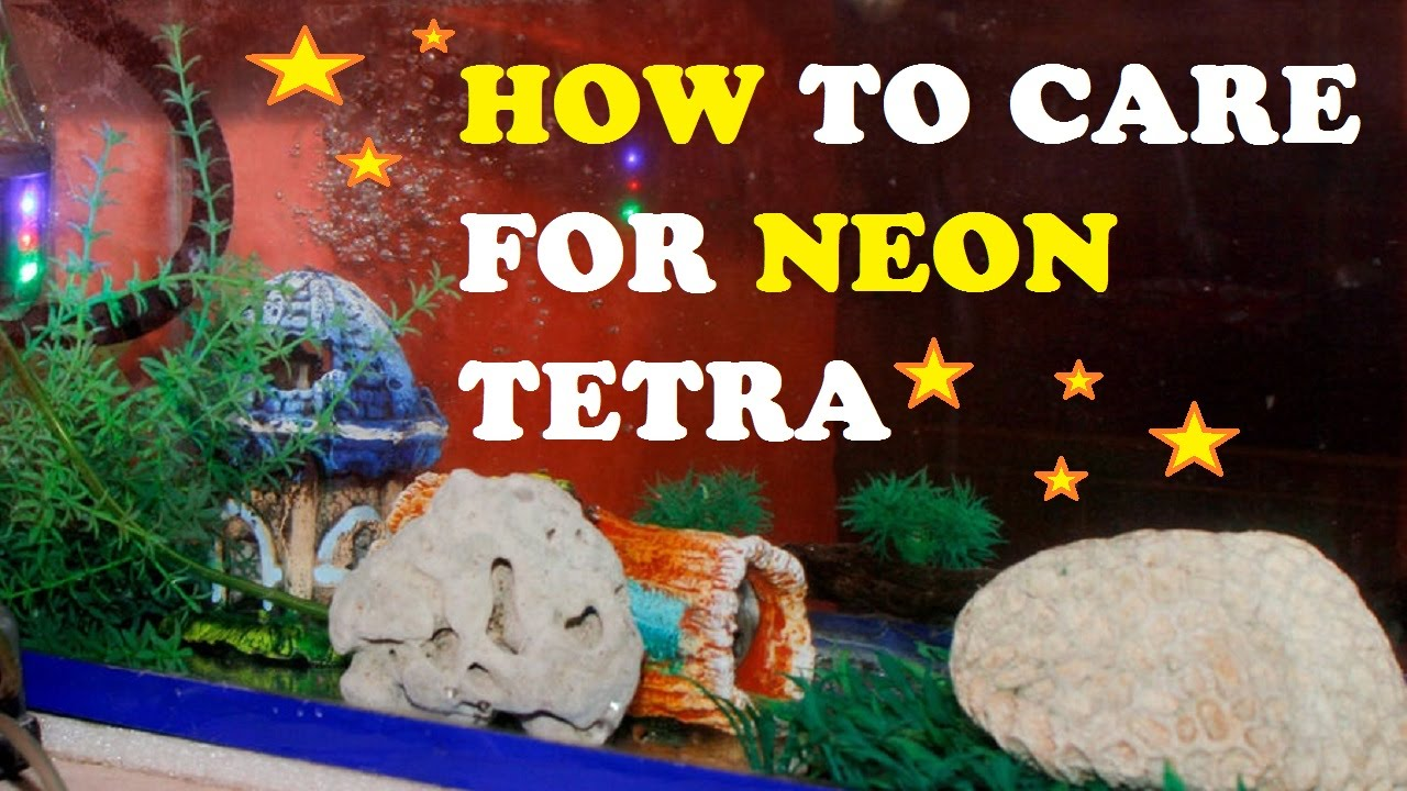 How to Care for Neon Tetra