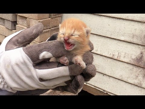 3 Tiny Ginger Kittens Rescued from Under a Shed