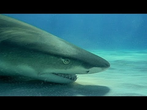 Swimming with Wild Lemon Sharks | Deadly 60 | Earth Unplugged