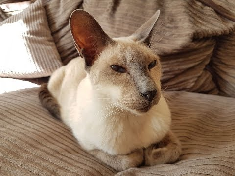 Mr Pickles Male Blue Point Siamese Cat relaxing in the sunshine 4K