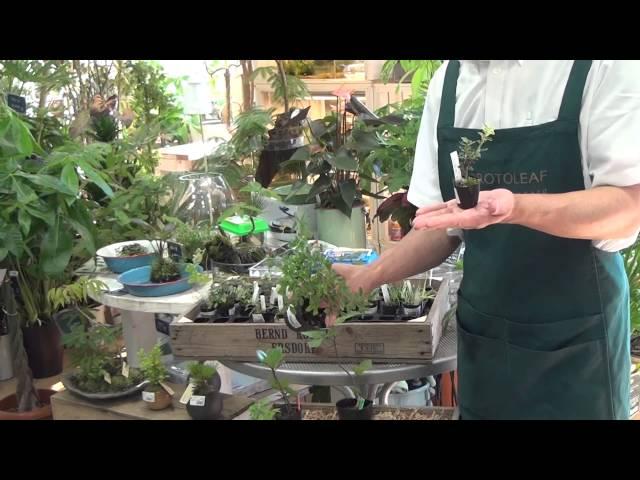 ミニミニ盆栽苗の育て方・日常管理