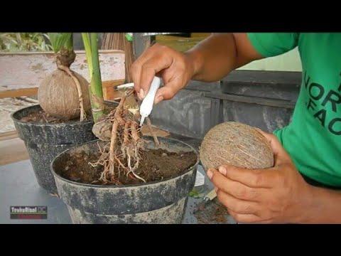 Cara Mengatasi Batok Bonsai Kelapa Yang Terlepas Released Bonsai