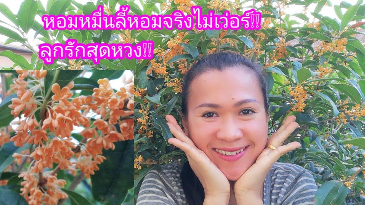 หอมหมื่นลี้ลูกรัก ดอกไม้ที่หอมไกลที่สุดในโลกหอมจริงไม่เว่อร์Osmanthus fragrans20/10/19