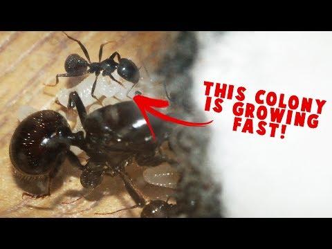 TWO SPECIES. ONE UPDATE. Harvester Ants vs Black Garden Ants.