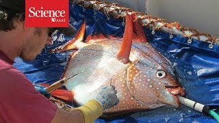 Scientists discover world's first warm-bodied fish!