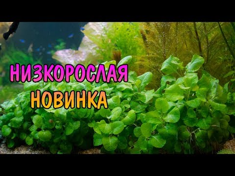 ЛОБЕЛИЯ КАРДИНАЛИС ВЭВИ ( Lobelia Cardinalis Wavy )