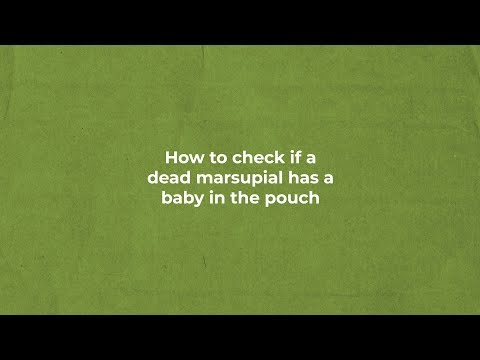 HOW TO CHECK IF A DEAD MARSUPIAL HAS A BABY IN THE POUCH