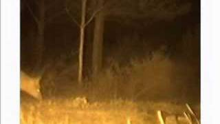 WILD ANIMALS AT NIGHT. Second part.