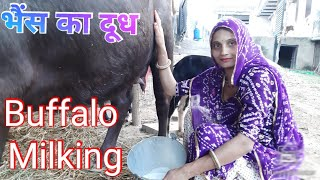 vuclip Buffalo Milking | How to milking buffalo by hand | evening routine milking buffalo | village life