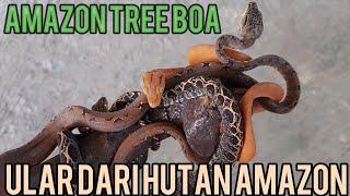 REVIEW AMAZON TREE BOA/LEBIH KEREN DARI ANACONDA !