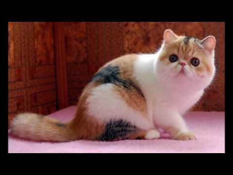 Exotic cat History, Personality, Health, Care