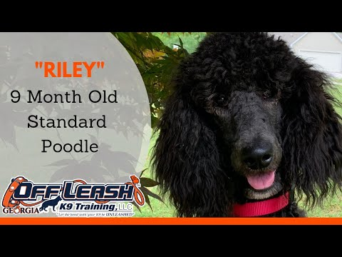 Riley | 9 Month Old Standard Poodle | Off Leash K9 Training, Georgia | Dog Trainer Duluth Georgia