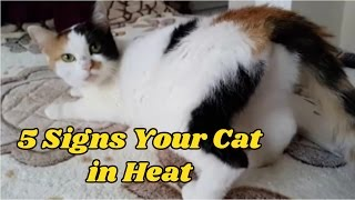 5 Signs Your Cat in Heat