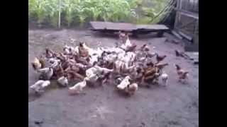 видео Как откормить свинью: правила и виды откорма, подбор рационов для различных видов откорма